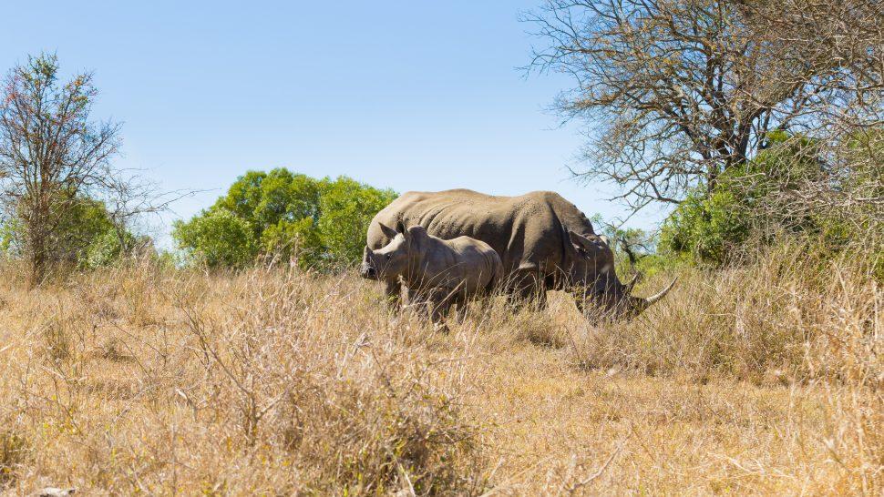 Noshörning med unge i Hluhluwe–Imfolozi i Sydafrika