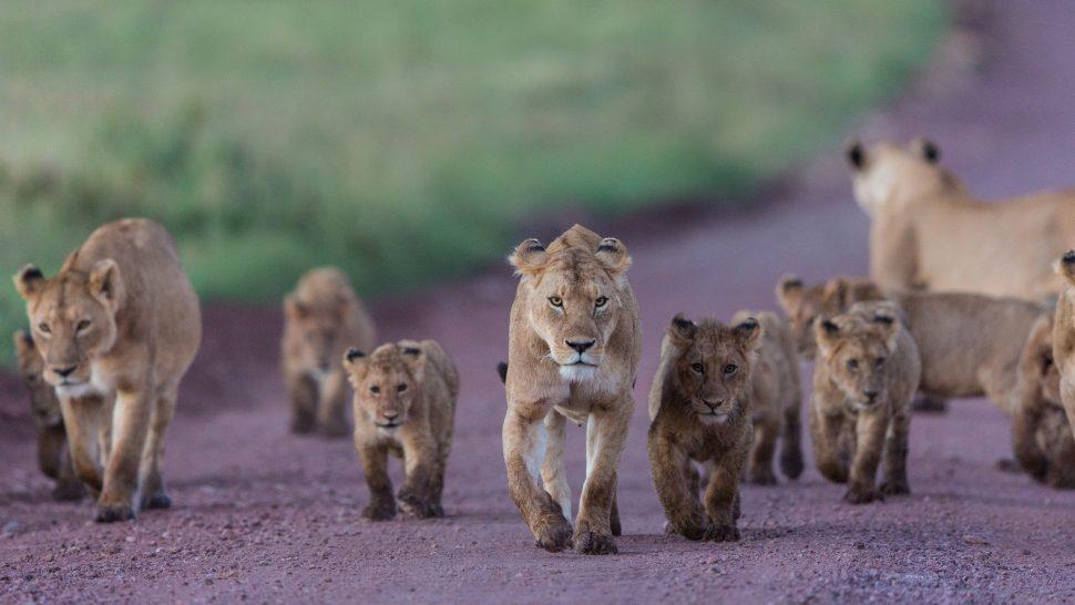 Lejon i Serengeti
