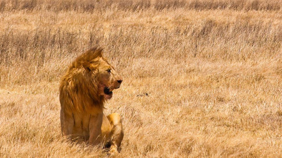 Lejon vid Ngorongoro