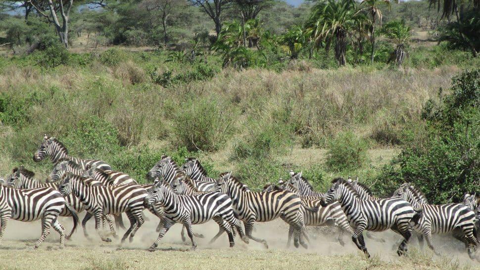 Zebror i Serengeti