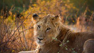 På en resa till Tanzania så kommer ni se otroligt mycket lejon.