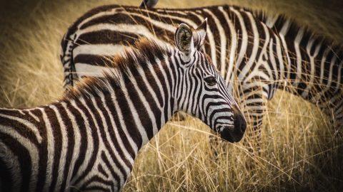 På en safari i Kenya har du stora möjligheter att se The Big Five.