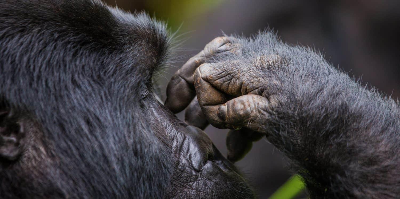 Närbild på bergsgorilla i Rwanda