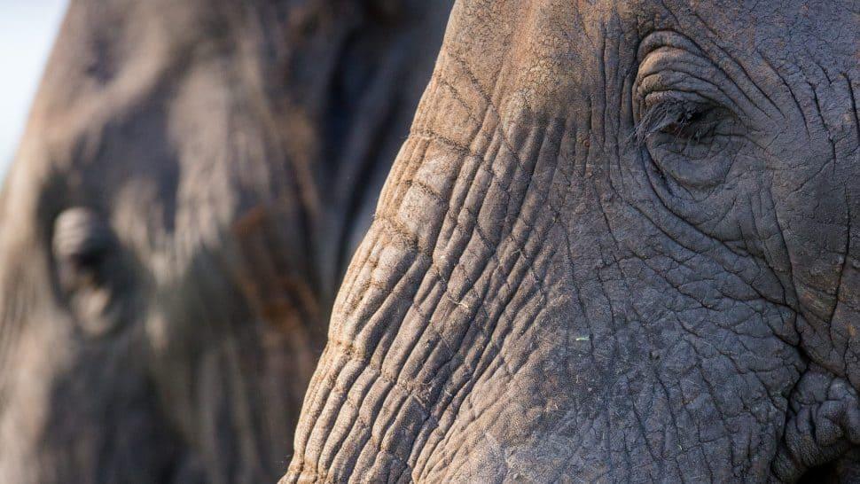 Närbild på elefanthuvud