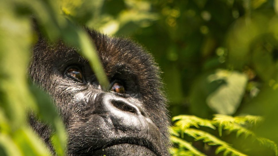 Gorilla i Rwanda