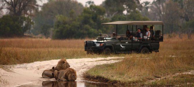 Lejon som dricker med safarijeep i bakgrunden