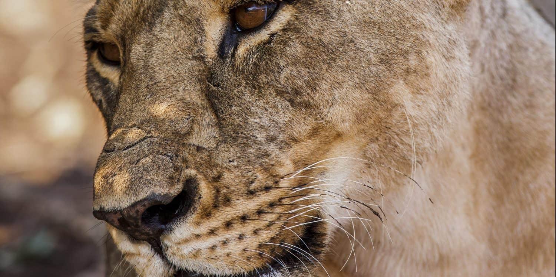 Lejonhona safari i afrika
