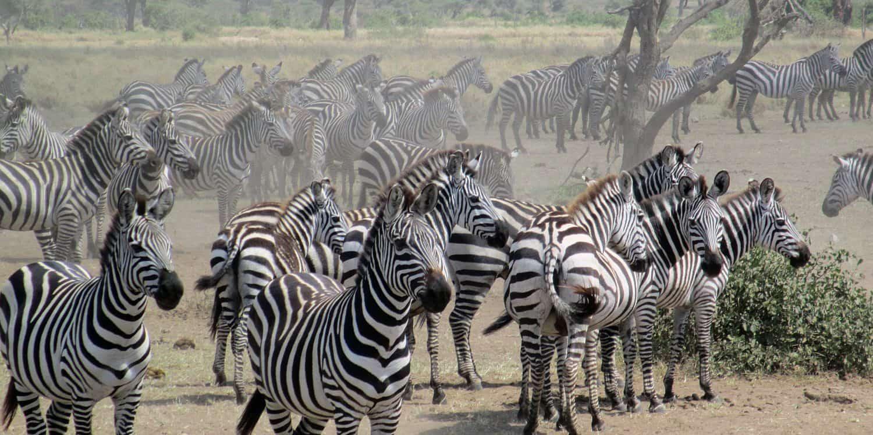 Zebror i Serengeti som väntar vid vattenhål